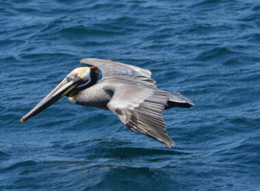 Flying Pelican Pic