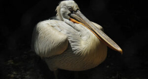 Pelican-HD-Picture