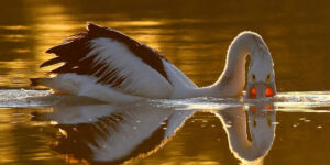 Pelican Swimming in Water HD Pic