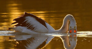 Pelican-Swimming-in-Water-HD-Pic