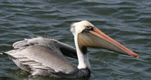 Pelican-in-Water-HD-Image