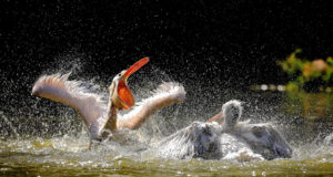 Pelican-in-Water-HD-Pic