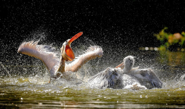 Pelican in Water HD Pic