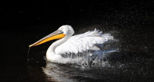 Pelican-in-Water-Image