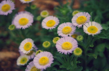 Daisy-Flowers-HD-Pic