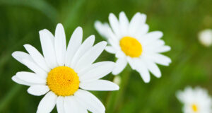 Daisy-Flowers-Pic-HD
