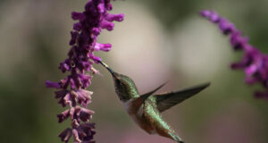 Flying-Hummingbird-Near-Flowers-HD-Image