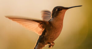 Hummingbird-HD-Picture