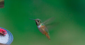 Image-of-Flying-Hummingbird-in-HD
