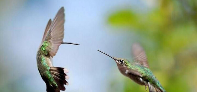 Two-Flying-Hummingbird-Full-HD-Image