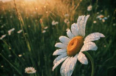 Water-Drops-on-Daisy-Flower-HD-Pic