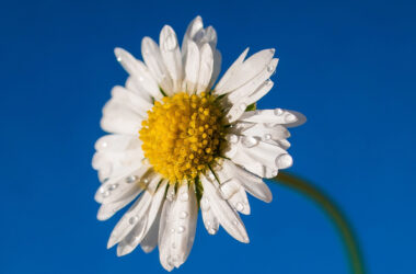 Water-Drops-on-Daisy-Flower-Pic-HD