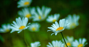 White-Daisy-Flowers-in-Field-Image-HD