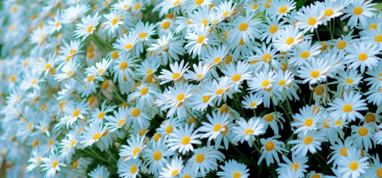 Beautiful-White-Daisy-Flowers-HD-Image