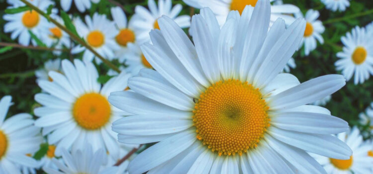 Beautiful-White-Daisy-Flowers-Image-HD