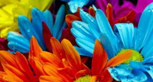 Different-Color-Daisy-Flowers-Full-HD-Pic