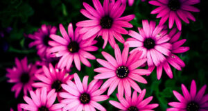 Pink-Daisy-Flowers-HD-Pic