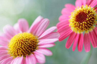 Pink-Daisy-Flowers-Pic-HD