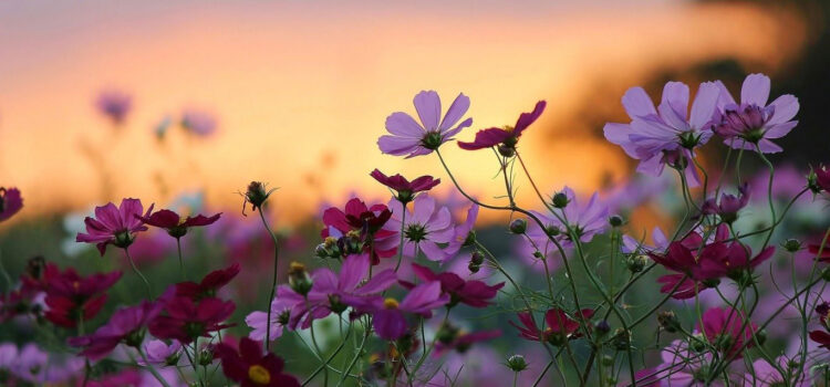 Pink-Daisy-Flowers-Pic-in-HD
