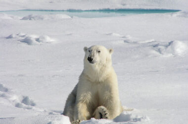 Polar-Bear-Sitting-in-Snow-Ground-Image-HD