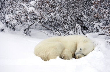 Polar-Bear-Sleeping-in-Snow-Ground-Image-HD