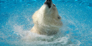 Polar Bear in Water HD Pic