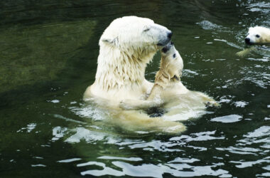 Polar-Bear-in-Water-With-Baby-Full-HD-Pic