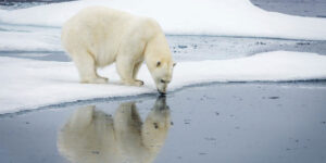 Polar Bear on Snow Ground Image