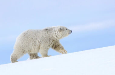 Polar-Bear-on-Snow-Ground-Image-in-HD