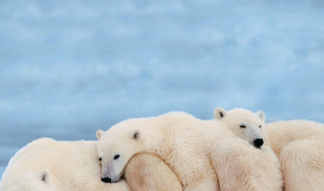 Polar Bears Lying on Snow HD Image