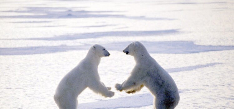 Two-Polar-Bear-HD-Image
