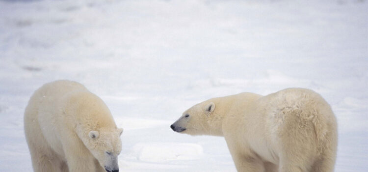 Two-Polar-Bear-on-Snow-Ground-Pic-HD
