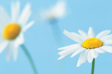 White-Daisy-Flower-HD-Pic