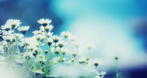 White-Daisy-Flowers-Field-HD-Image