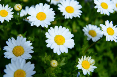 White-Daisy-Flowers-HD-Image
