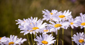 White-Daisy-Flowers-Pic