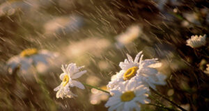 White-Daisy-Flowers-Pic-in-HD