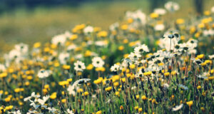 White-Daisy-Flowers-in-Field-HD-Picture