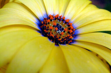 Yellow-Daisy-Flower-Image