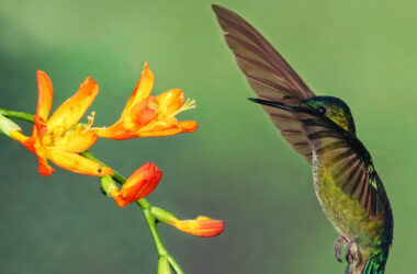 Flying-Hummingbird-Near-Flowers-Pic-in-HD