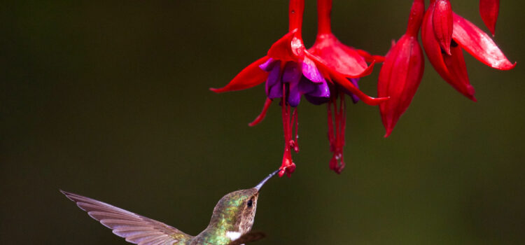 Flying-Hummingbird-Near-Red-Flower-Pic-HD