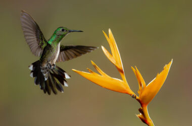 Flying-Hummingbird-Near-Yellow-Flower-HD-Pic