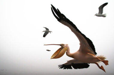 Flying-Pelican-Pic-HD