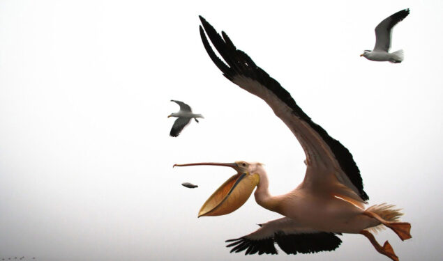 Flying Pelican Pic HD