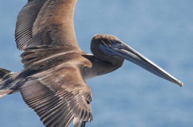 Flying-Pelican-Pic-in-HD