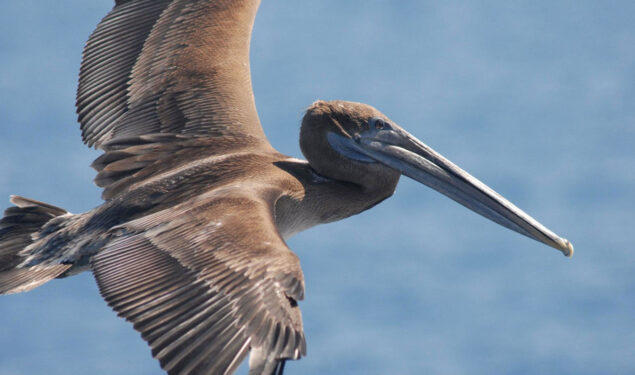 Flying Pelican Pic in HD