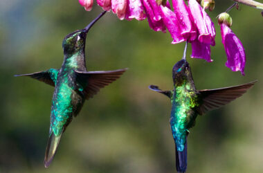 Hummingbirds-Flying-Near-Purple-Flowers-HD-Image