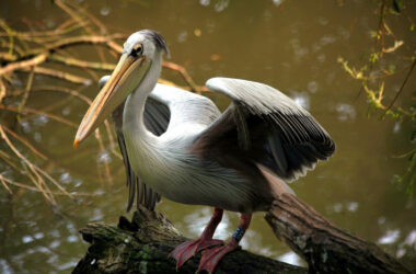Pelican-Near-Lake-HD-Pic
