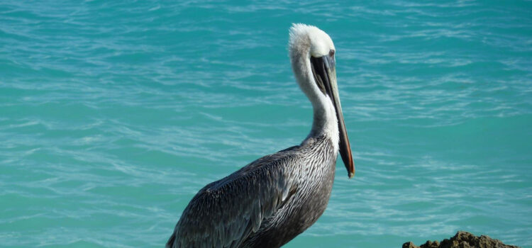 Pelican-Near-Sea-HD-Pic