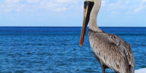 Pelican Sitting Near Sea HD Pic